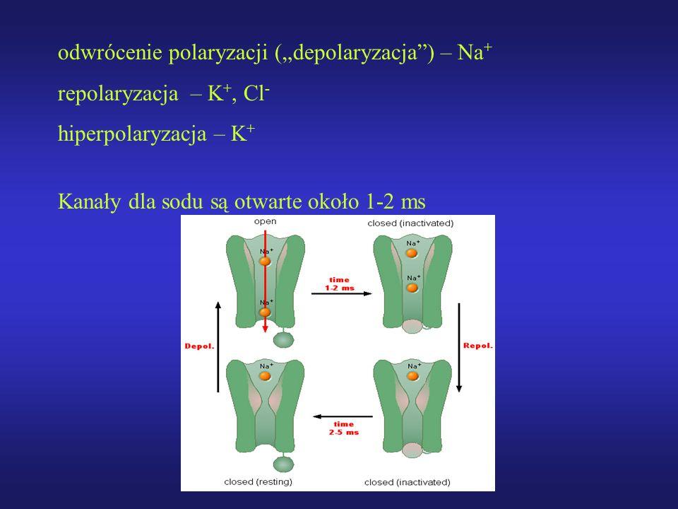 odwrócenie polaryzacji (depolaryzacja) – Na + repolaryzacja – K +, Cl - hiperpolaryzacja – K + Kanały dla sodu są otwarte około 1-2 ms