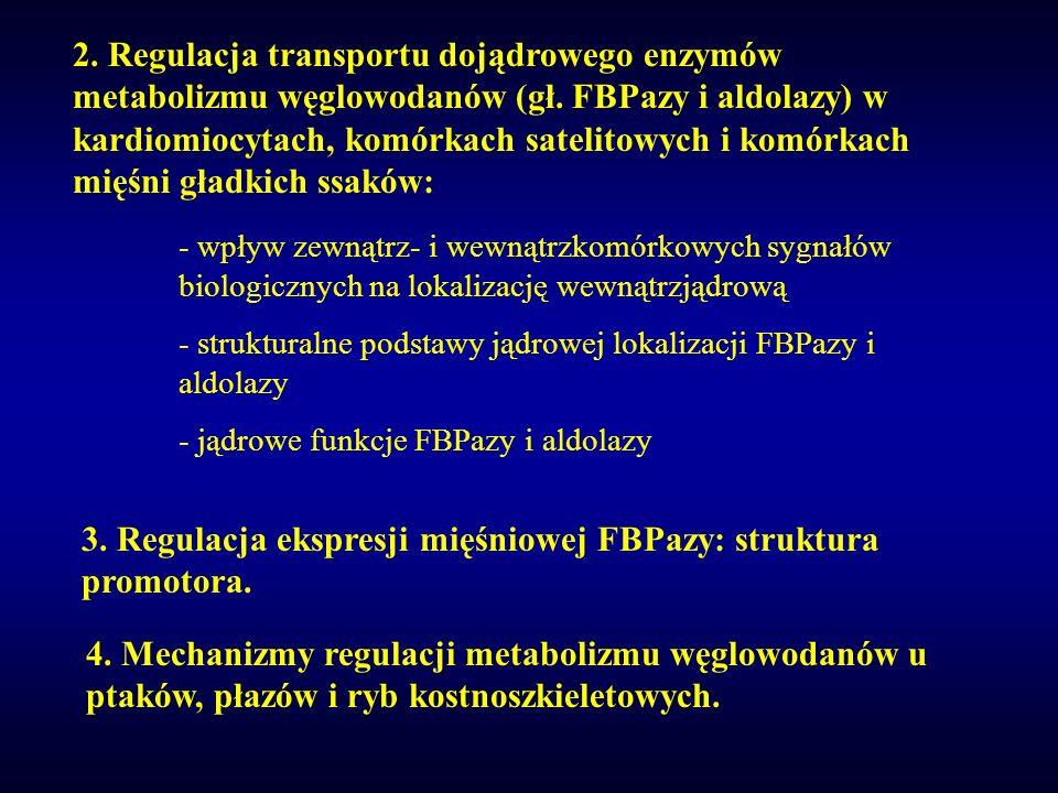 2. Regulacja transportu dojądrowego enzymów metabolizmu węglowodanów (gł. FBPazy i aldolazy) w kardiomiocytach, komórkach satelitowych i komórkach mię