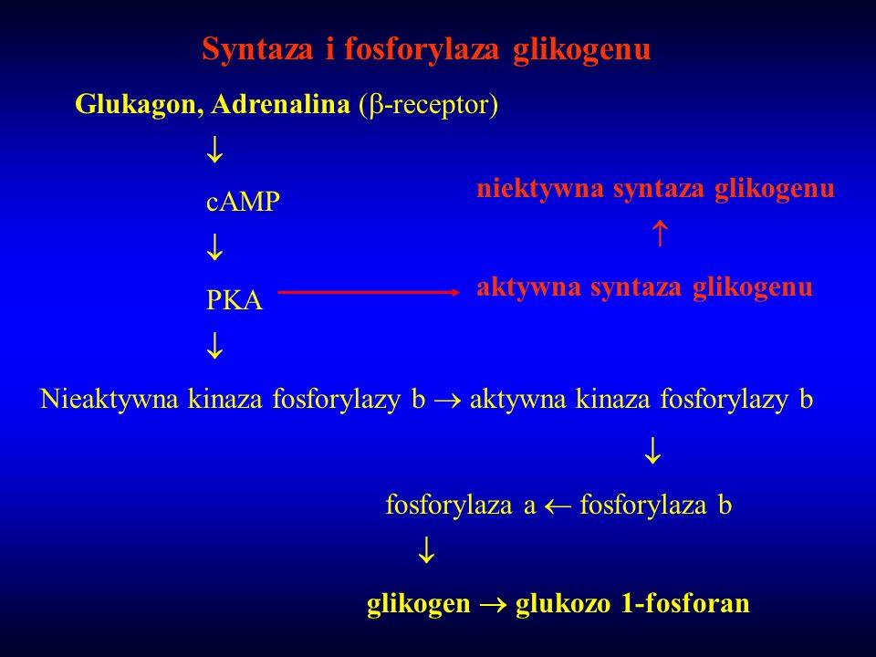 Syntaza i fosforylaza glikogenu Glukagon, Adrenalina ( -receptor) cAMP PKA Nieaktywna kinaza fosforylazy b aktywna kinaza fosforylazy b fosforylaza a