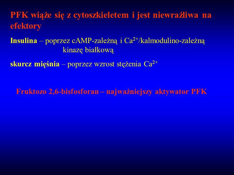 PFK wiąże się z cytoszkieletem i jest niewrażliwa na efektory Insulina – poprzez cAMP-zależną i Ca 2+ /kalmodulino-zależną kinazę białkową skurcz mięś
