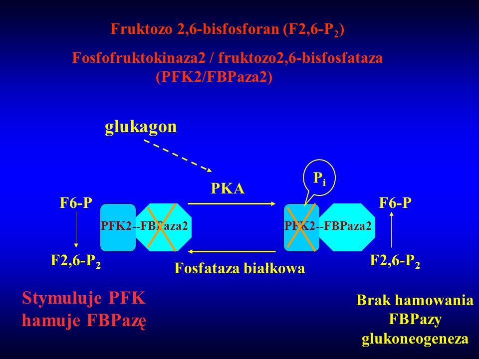 Fruktozo 2,6-bisfosforan (F2,6-P 2 ) Fosfofruktokinaza2 / fruktozo2,6-bisfosfataza (PFK2/FBPaza2) F6-P F2,6-P 2 PFK2--FBPaza2 Stymuluje PFK hamuje FBP