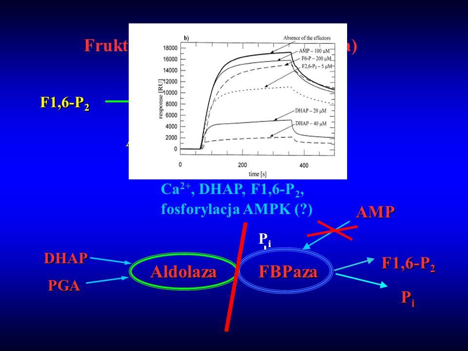 Fruktozo 1,6-bisfosfataza (FBPaza) F1,6-P 2 F6-P + P i FBPase AMPF2,6–P 2 F1,6-P 2 DHAP PGA AldolazaFBPazaAMP PiPiPiPi Ca 2+, DHAP, F1,6-P 2, fosforyl
