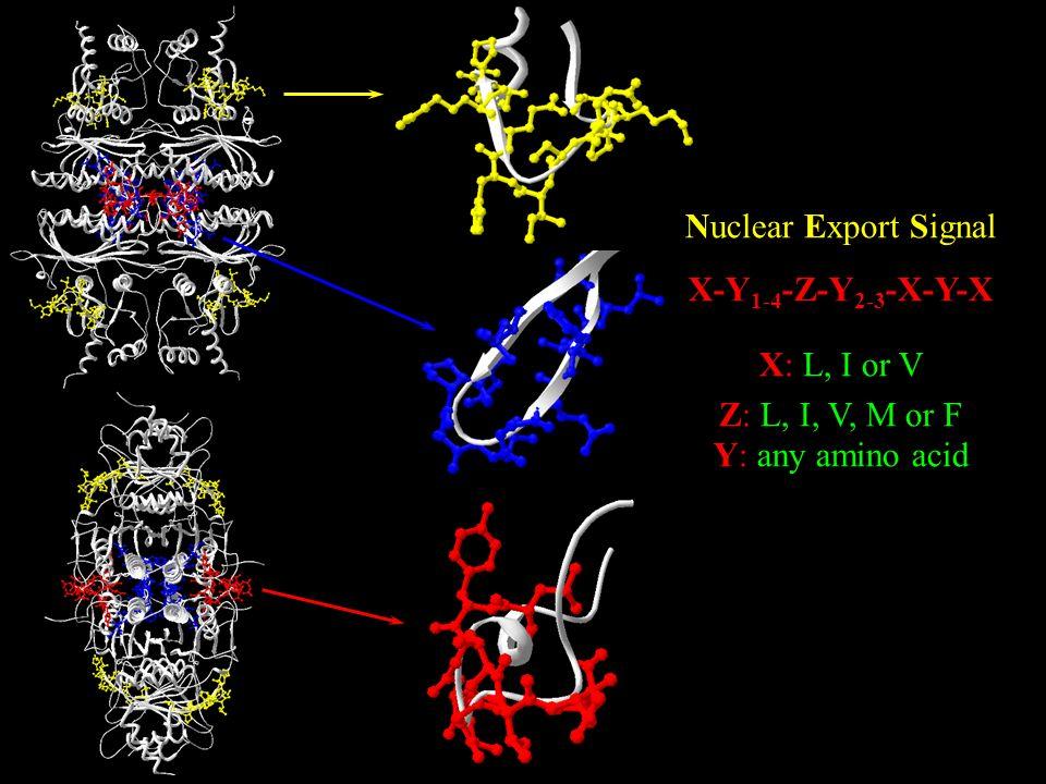 Nuclear Export Signal X-Y 1-4 -Z-Y 2-3 -X-Y-X X: L, I or V Z: L, I, V, M or F Y: any amino acid