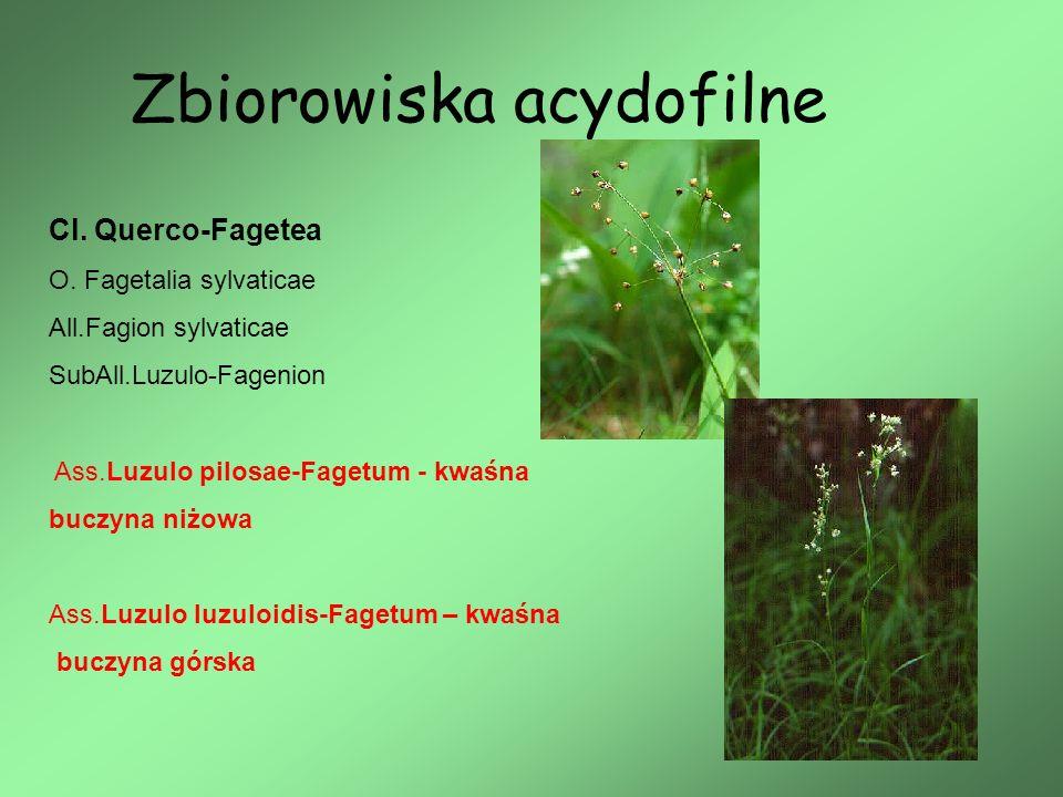 Zbiorowiska acydofilne Cl. Querco-Fagetea O. Fagetalia sylvaticae All.Fagion sylvaticae SubAll.Luzulo-Fagenion Ass.Luzulo pilosae-Fagetum - kwaśna buc