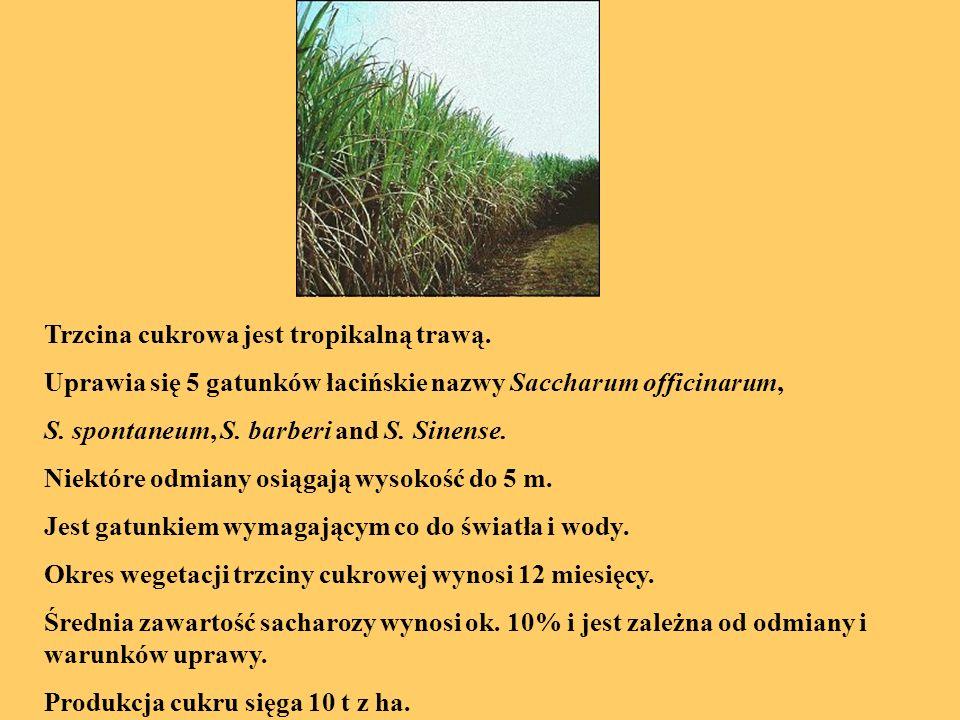 Trzcina cukrowa jest tropikalną trawą. Uprawia się 5 gatunków łacińskie nazwy Saccharum officinarum, S. spontaneum, S. barberi and S. Sinense. Niektór
