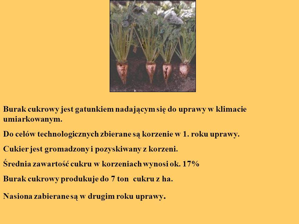 Burak cukrowy jest gatunkiem nadającym się do uprawy w klimacie umiarkowanym. Do celów technologicznych zbierane są korzenie w 1. roku uprawy. Cukier