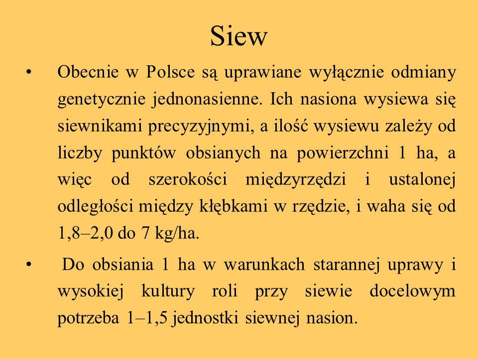 Siew Obecnie w Polsce są uprawiane wyłącznie odmiany genetycznie jednonasienne. Ich nasiona wysiewa się siewnikami precyzyjnymi, a ilość wysiewu zależ