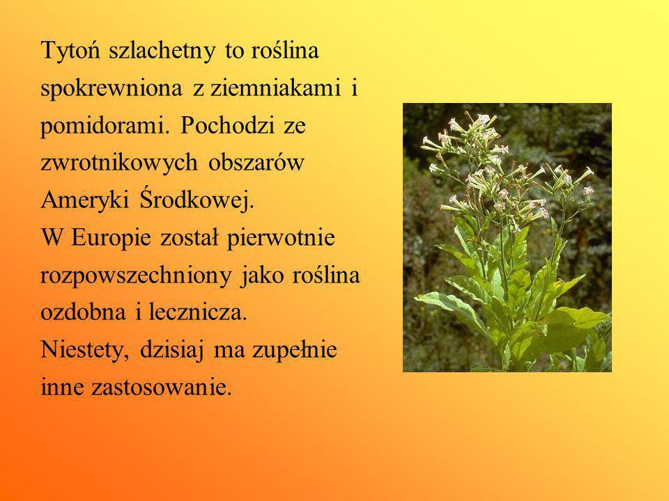 Tytoń szlachetny to roślina spokrewniona z ziemniakami i pomidorami. Pochodzi ze zwrotnikowych obszarów Ameryki Środkowej. W Europie został pierwotnie