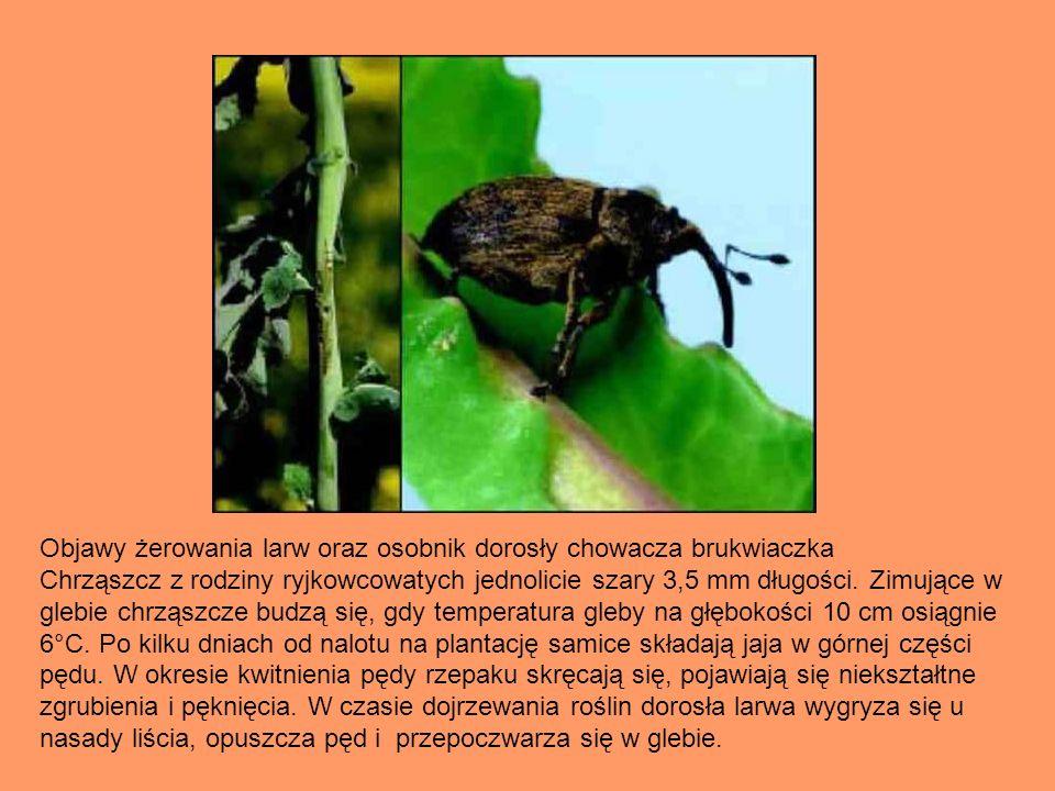 Objawy żerowania larw oraz osobnik dorosły chowacza brukwiaczka Chrząszcz z rodziny ryjkowcowatych jednolicie szary 3,5 mm długości. Zimujące w glebie