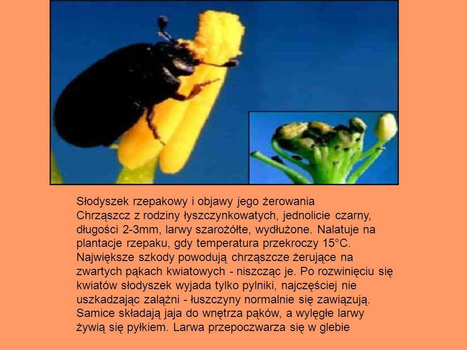 Słodyszek rzepakowy i objawy jego żerowania Chrząszcz z rodziny łyszczynkowatych, jednolicie czarny, długości 2-3mm, larwy szarożółte, wydłużone. Nala