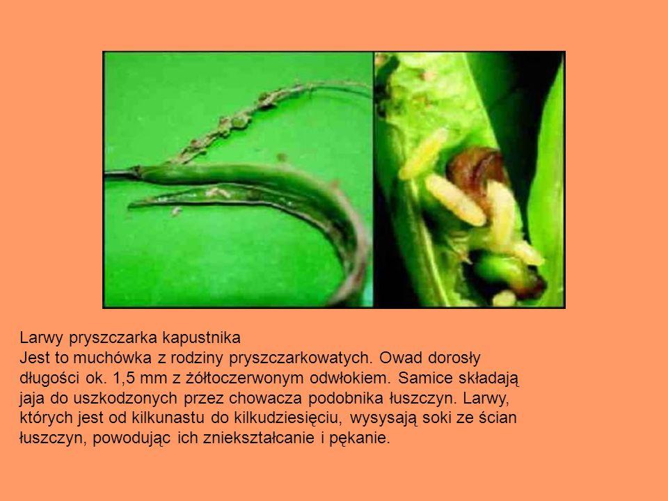 Larwy pryszczarka kapustnika Jest to muchówka z rodziny pryszczarkowatych. Owad dorosły długości ok. 1,5 mm z żółtoczerwonym odwłokiem. Samice składaj