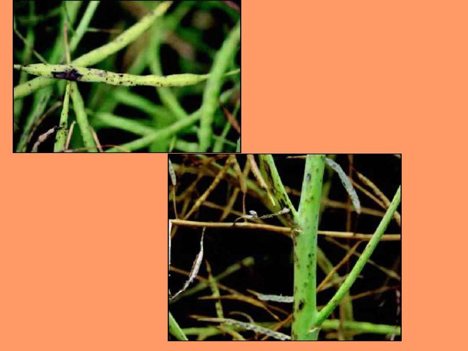 Gnatarz rzepakowiec Jest to błonkówka z rodziny pilarzowatych.