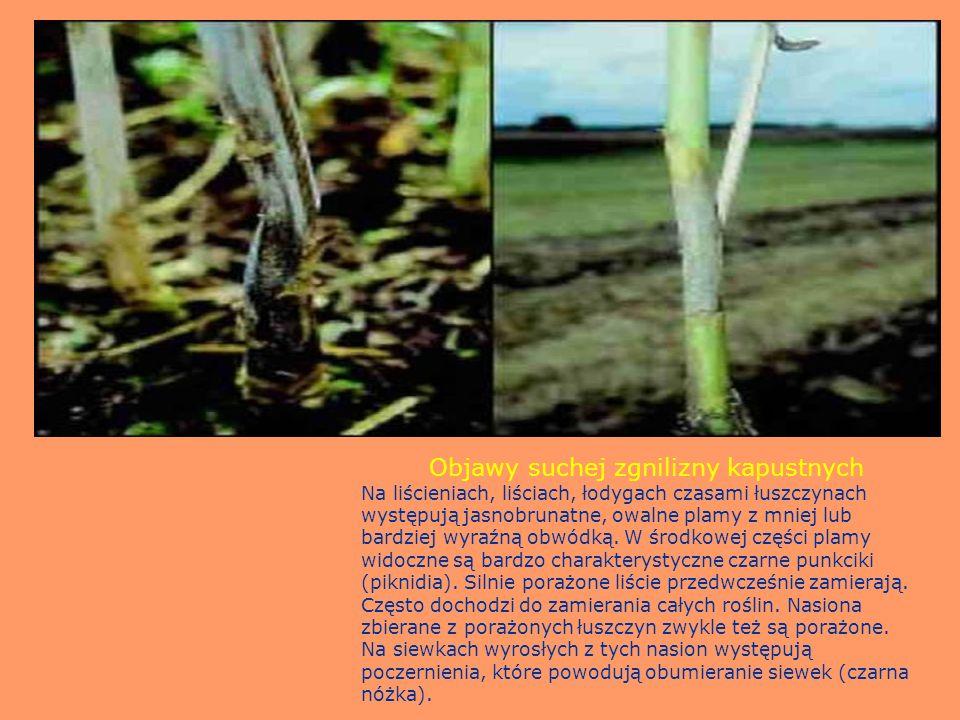 Objawy suchej zgnilizny kapustnych Na liścieniach, liściach, łodygach czasami łuszczynach występują jasnobrunatne, owalne plamy z mniej lub bardziej w