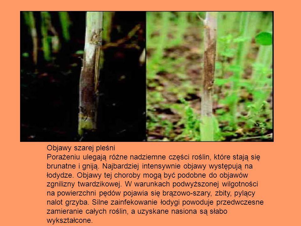 Objawy szarej pleśni Porażeniu ulegają różne nadziemne części roślin, które stają się brunatne i gniją. Najbardziej intensywnie objawy występują na ło