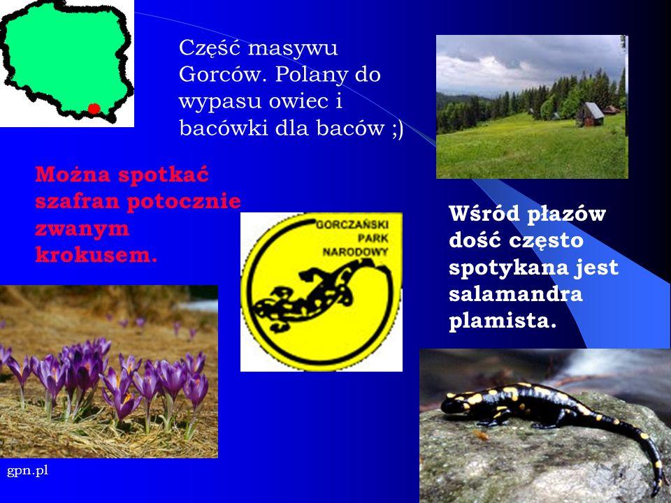 Można spotkać szafran potocznie zwanym krokusem. gpn.pl Wśród płazów dość często spotykana jest salamandra plamista. Część masywu Gorców. Polany do wy
