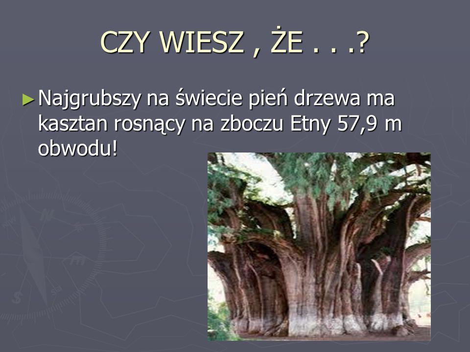 CZY WIESZ, ŻE...? Najgrubszy na świecie pień drzewa ma kasztan rosnący na zboczu Etny 57,9 m obwodu! Najgrubszy na świecie pień drzewa ma kasztan rosn