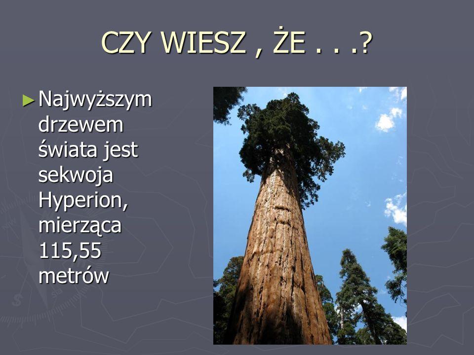 CZY WIESZ, ŻE...? Najwyższym drzewem świata jest sekwoja Hyperion, mierząca 115,55 metrów Najwyższym drzewem świata jest sekwoja Hyperion, mierząca 11