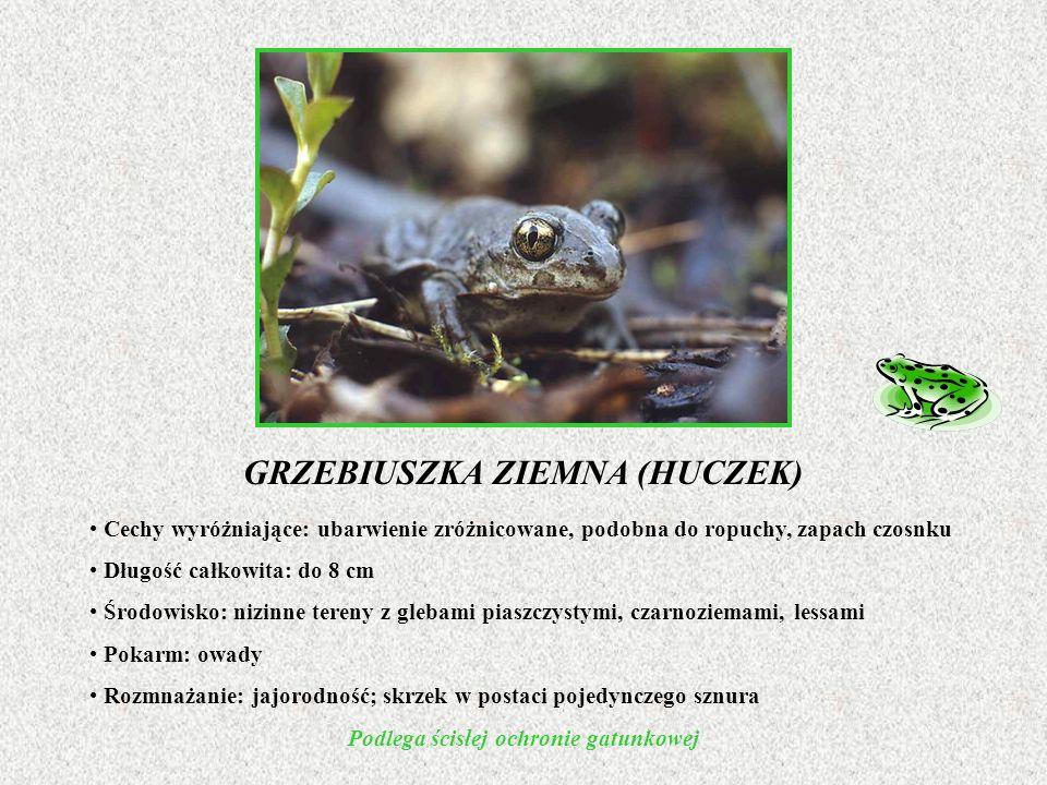 GRZEBIUSZKA ZIEMNA (HUCZEK) Cechy wyróżniające: ubarwienie zróżnicowane, podobna do ropuchy, zapach czosnku Długość całkowita: do 8 cm Środowisko: niz