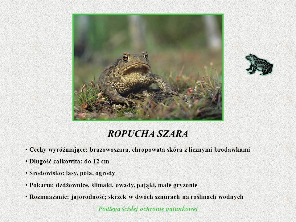 ROPUCHA SZARA Cechy wyróżniające: brązowoszara, chropowata skóra z licznymi brodawkami Długość całkowita: do 12 cm Środowisko: lasy, pola, ogrody Poka