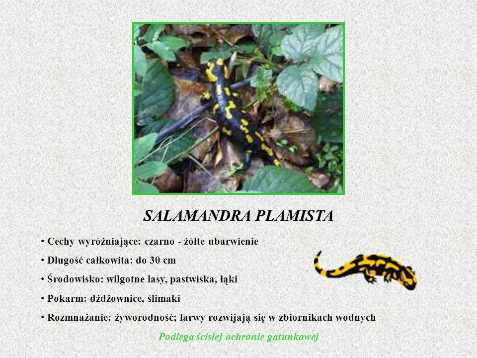 SALAMANDRA PLAMISTA Cechy wyróżniające: czarno - żółte ubarwienie Długość całkowita: do 30 cm Środowisko: wilgotne lasy, pastwiska, łąki Pokarm: dżdżo
