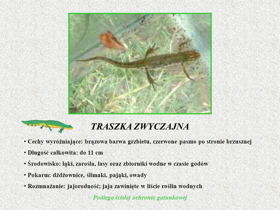 TRASZKA ZWYCZAJNA Cechy wyróżniające: brązowa barwa grzbietu, czerwone pasmo po stronie brzusznej Długość całkowita: do 11 cm Środowisko: łąki, zarośl