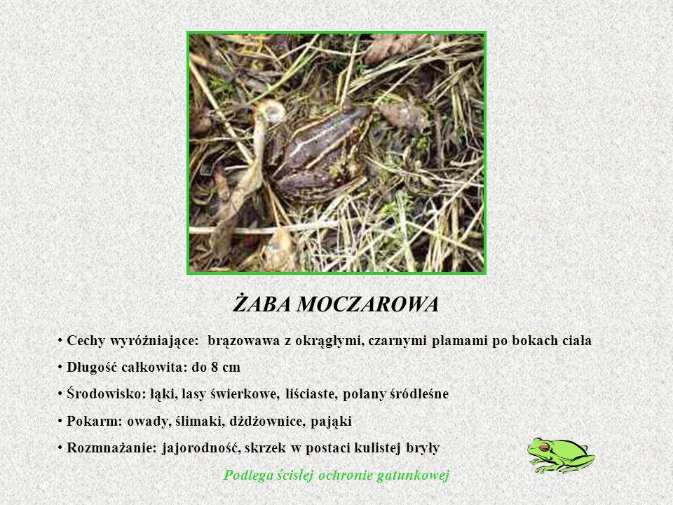 ŻABA MOCZAROWA Cechy wyróżniające: brązowawa z okrągłymi, czarnymi plamami po bokach ciała Długość całkowita: do 8 cm Środowisko: łąki, lasy świerkowe