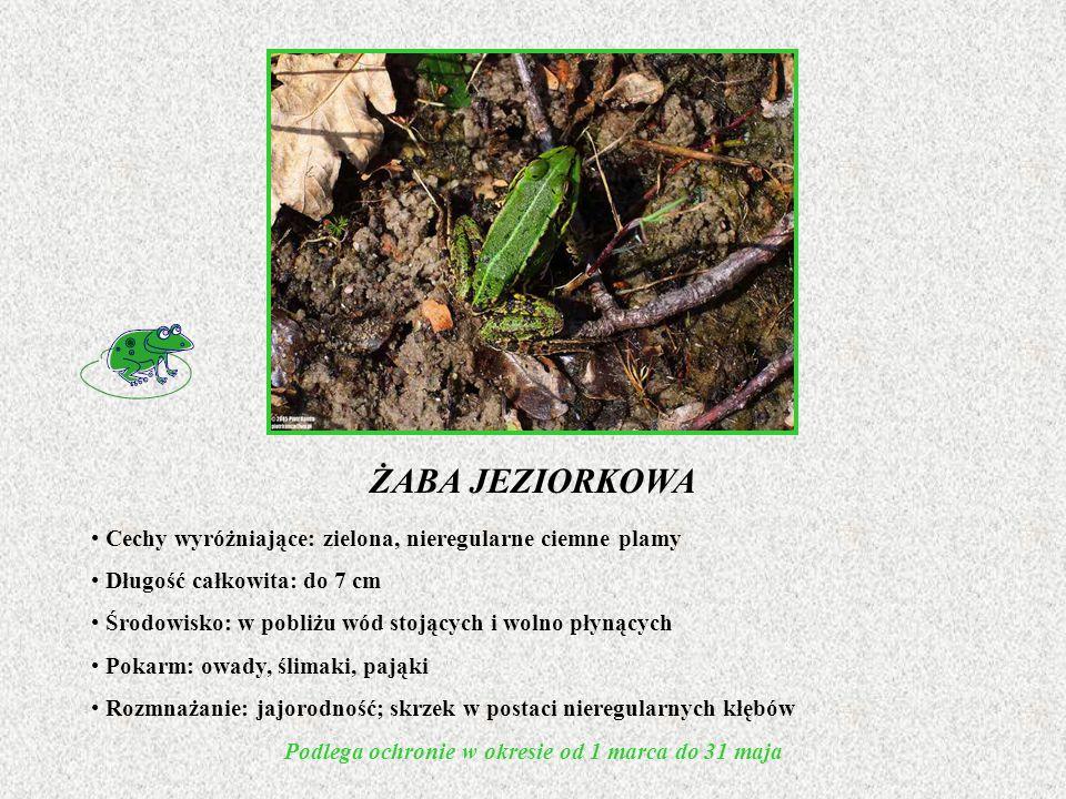 ŻABA JEZIORKOWA Cechy wyróżniające: zielona, nieregularne ciemne plamy Długość całkowita: do 7 cm Środowisko: w pobliżu wód stojących i wolno płynącyc