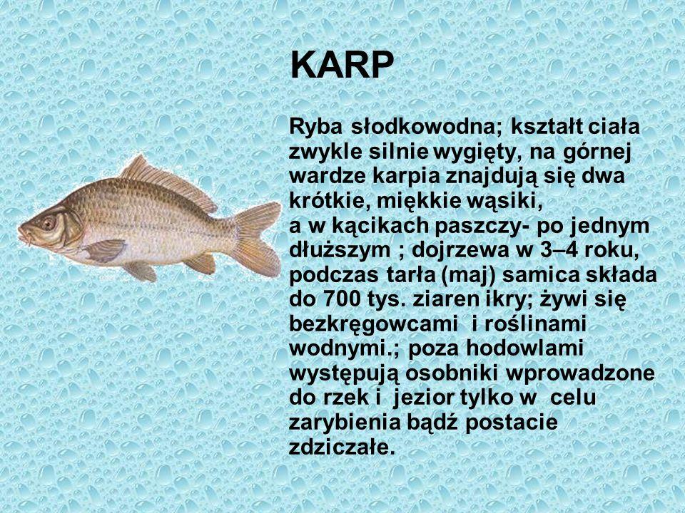 KARP Ryba słodkowodna; kształt ciała zwykle silnie wygięty, na górnej wardze karpia znajdują się dwa krótkie, miękkie wąsiki, a w kącikach paszczy- po