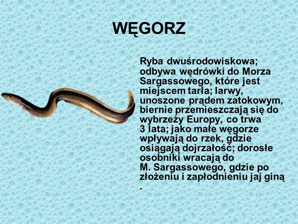 WĘGORZ Ryba dwuśrodowiskowa; odbywa wędrówki do Morza Sargassowego, które jest miejscem tarła; larwy, unoszone prądem zatokowym, biernie przemieszczaj