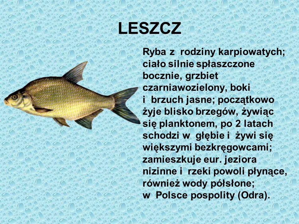 LESZCZ Ryba z rodziny karpiowatych; ciało silnie spłaszczone bocznie, grzbiet czarniawozielony, boki i brzuch jasne; początkowo żyje blisko brzegów, ż