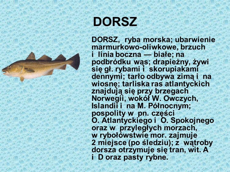 DORSZ DORSZ, ryba morska; ubarwienie marmurkowo-oliwkowe, brzuch i linia boczna białe; na podbródku wąs; drapieżny, żywi się gł. rybami i skorupiakami