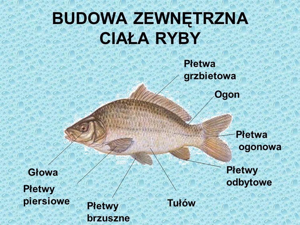 BUDOWA ZEWNĘTRZNA CIAŁA RYBY Głowa Płetwy piersiowe Płetwy brzuszne Tułów Płetwy odbytowe Płetwa ogonowa Ogon Płetwa grzbietowa