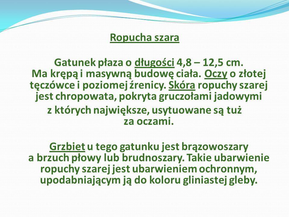 Ropucha szara Gatunek płaza o długości 4,8 – 12,5 cm. Ma krępą i masywną budowę ciała. Oczy o złotej tęczówce i poziomej źrenicy. Skóra ropuchy szarej