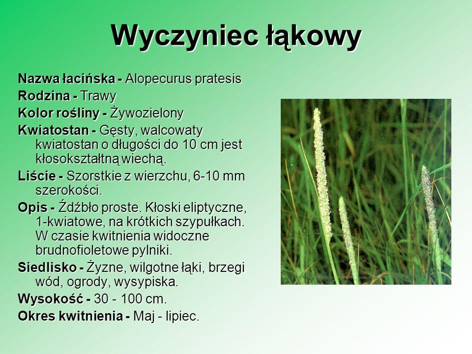 Wyczyniec łąkowy Nazwa łacińska - Alopecurus pratesis Rodzina - Trawy Rodzina - Trawy Kolor rośliny - Żywozielony Kwiatostan - Gęsty, walcowaty kwiato