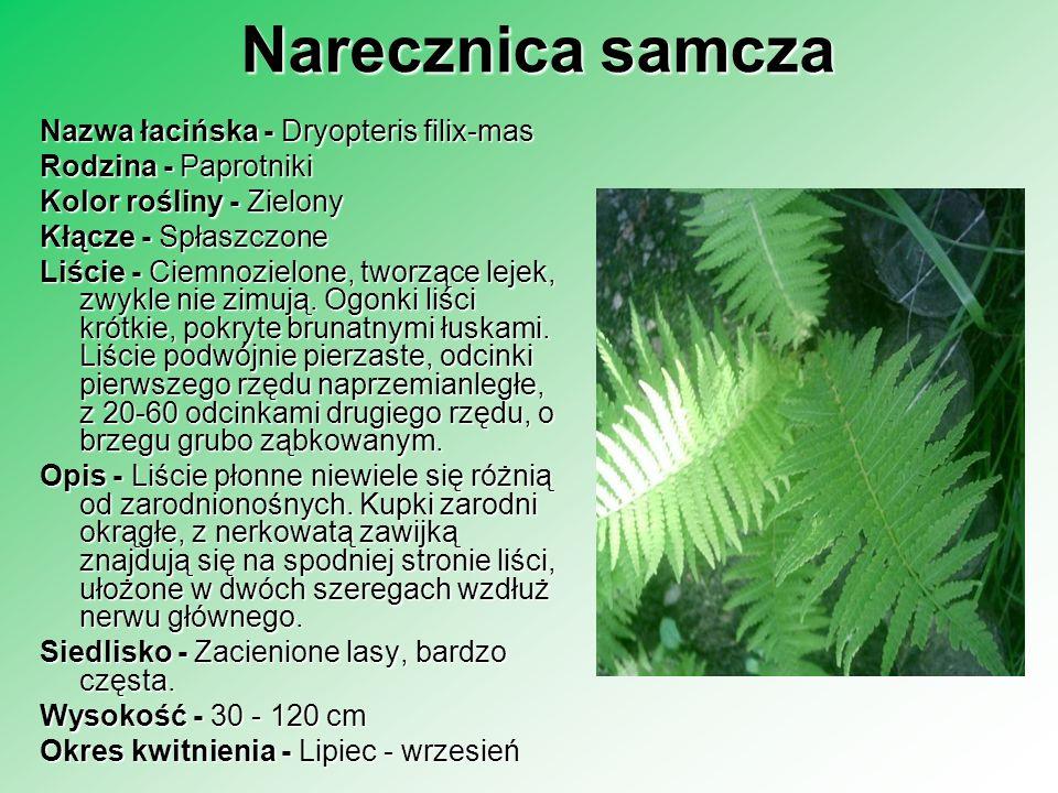 Narecznica samcza Nazwa łacińska - Dryopteris filix-mas Rodzina - Paprotniki Rodzina - Paprotniki Kolor rośliny - Zielony Kłącze - Spłaszczone Liście