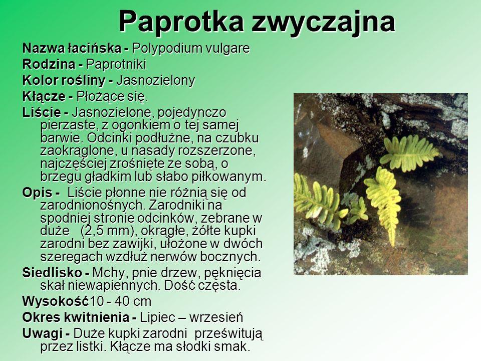 Paprotka zwyczajna Nazwa łacińska - Polypodium vulgare Rodzina - Paprotniki Rodzina - Paprotniki Kolor rośliny - Jasnozielony Kłącze - Płożące się. Li