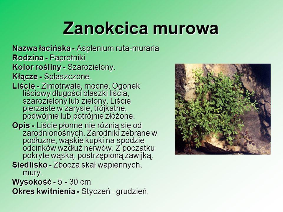 Zanokcica murowa Nazwa łacińska - Asplenium ruta-muraria Rodzina - Paprotniki Rodzina - Paprotniki Kolor rośliny - Szarozielony. Kłącze - Spłaszczone.
