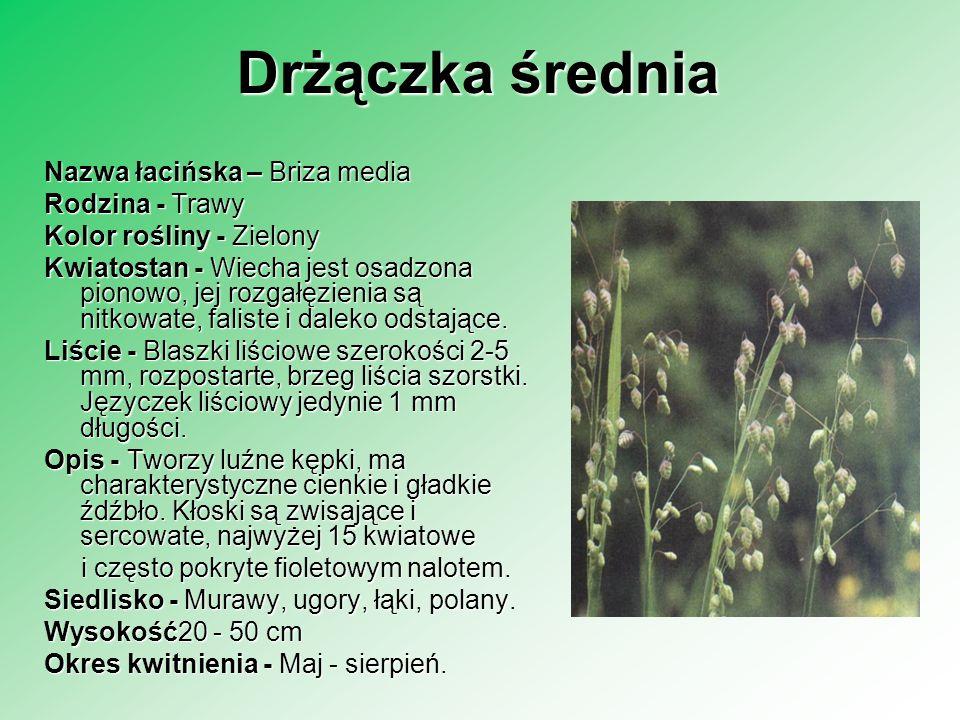 Drżączka średnia Nazwa łacińska – Briza media Rodzina - Trawy Rodzina - Trawy Kolor rośliny - Zielony Kwiatostan - Wiecha jest osadzona pionowo, jej r
