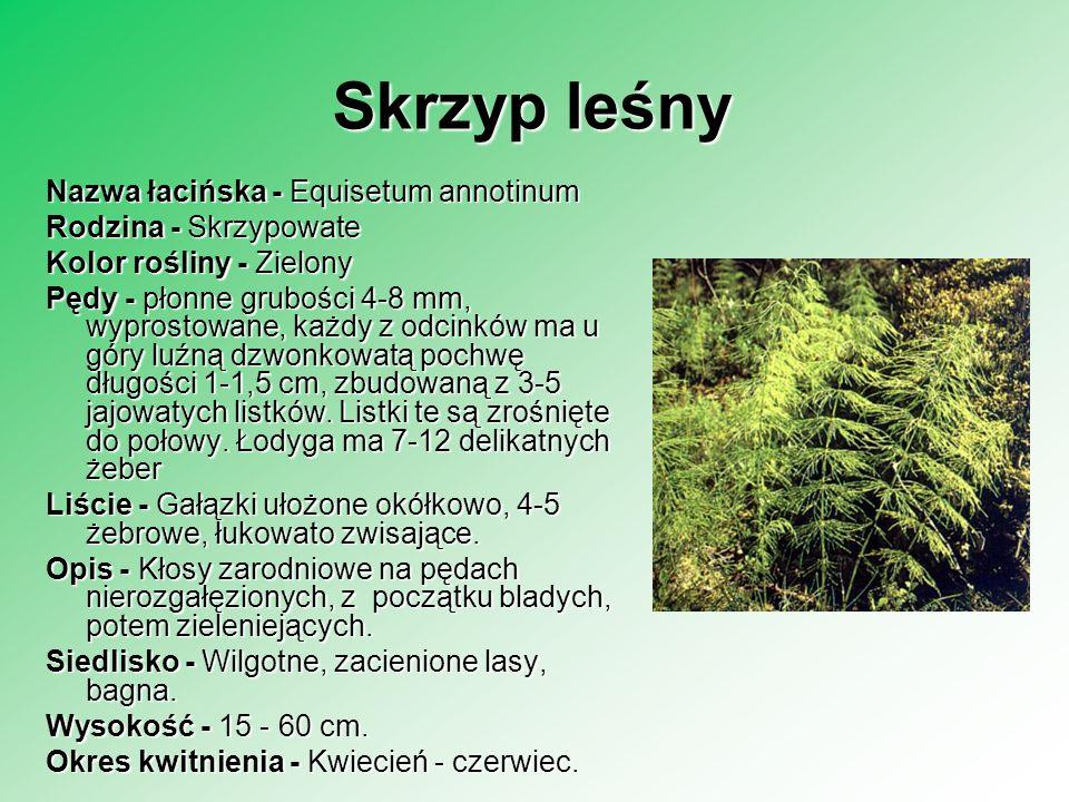 Skrzyp leśny Nazwa łacińska - Equisetum annotinum Rodzina - Skrzypowate Rodzina - Skrzypowate Kolor rośliny - Zielony Pędy - płonne grubości 4-8 mm, w