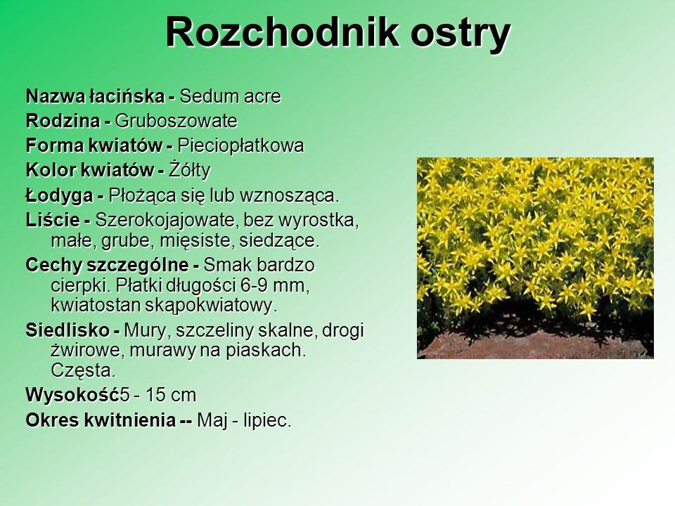 Rozchodnik ostry Nazwa łacińska - Sedum acre Rodzina - Gruboszowate Forma kwiatów - Pieciopłatkowa Kolor kwiatów - Żółty Łodyga - Płożąca się lub wzno