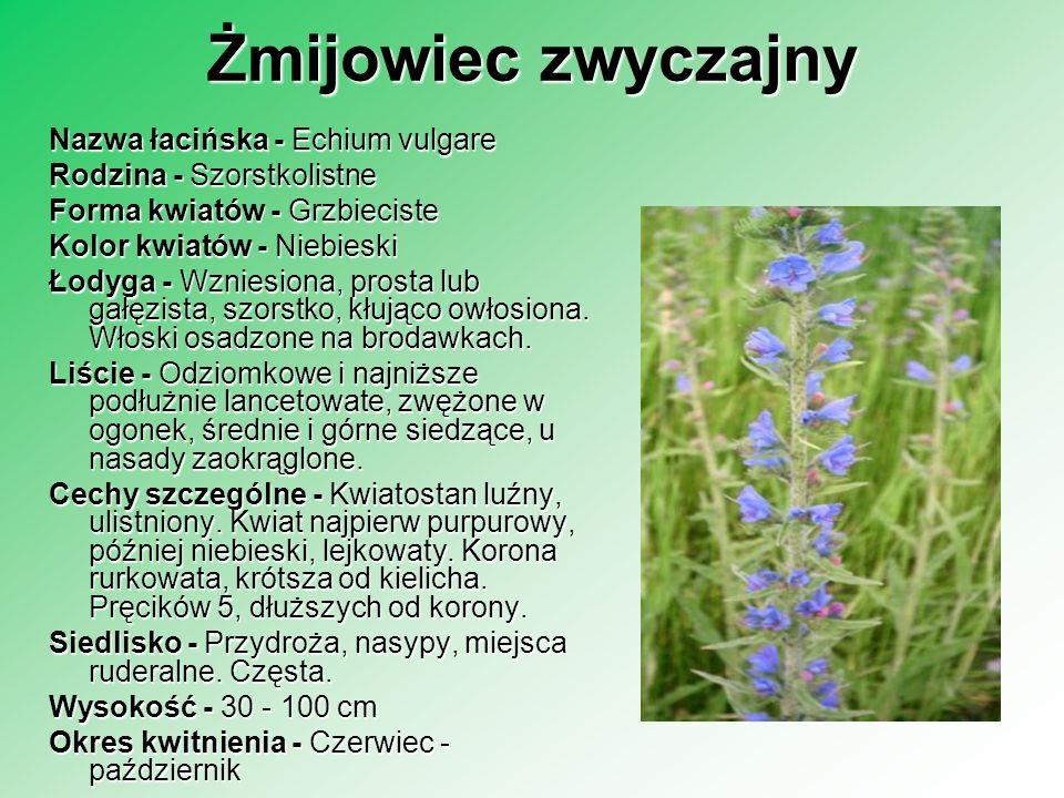 Żmijowiec zwyczajny Nazwa łacińska - Echium vulgare Rodzina - Szorstkolistne Forma kwiatów - Grzbieciste Kolor kwiatów - Niebieski Łodyga - Wzniesiona