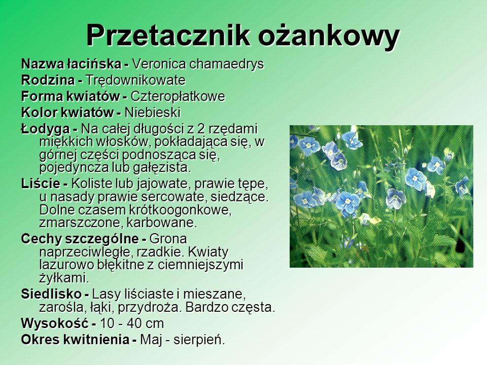 Przetacznik ożankowy Nazwa łacińska - Veronica chamaedrys Rodzina - Trędownikowate Forma kwiatów - Czteropłatkowe Kolor kwiatów - Niebieski Łodyga - N