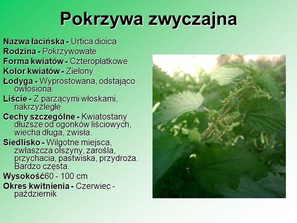 Pokrzywa zwyczajna Nazwa łacińska - Urtica dioica Rodzina - Pokrzywowate Forma kwiatów - Czteropłatkowe Kolor kwiatów - Zielony Łodyga - Wyprostowana,