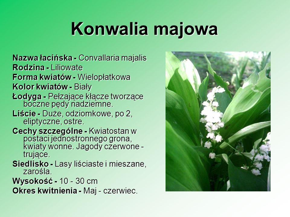 Konwalia majowa Nazwa łacińska - Convallaria majalis Rodzina - Liliowate Forma kwiatów - Wielopłatkowa Kolor kwiatów - Biały Łodyga - Pełzające kłącze