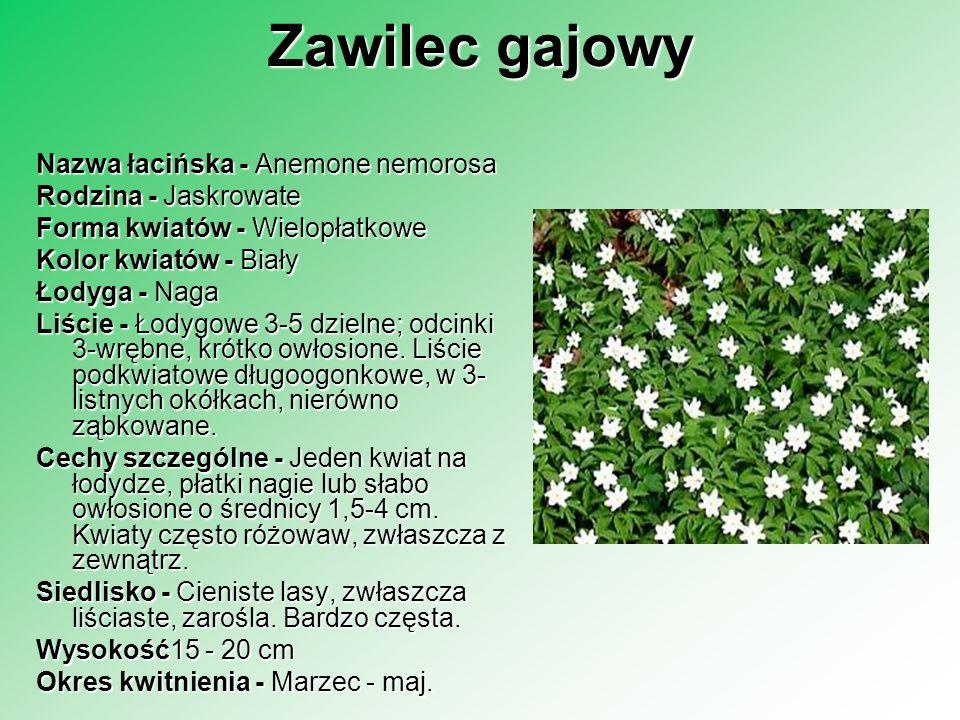 Zawilec gajowy Nazwa łacińska - Anemone nemorosa Rodzina - Jaskrowate Forma kwiatów - Wielopłatkowe Kolor kwiatów - Biały Łodyga - Naga Liście - Łodyg