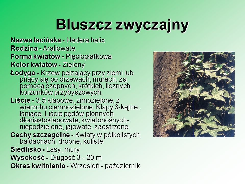 Bluszcz zwyczajny Nazwa łacińska - Hedera helix Rodzina - Araliowate Forma kwiatów - Pięciopłatkowa Kolor kwiatów - Zielony Łodyga - Krzew pełzający p