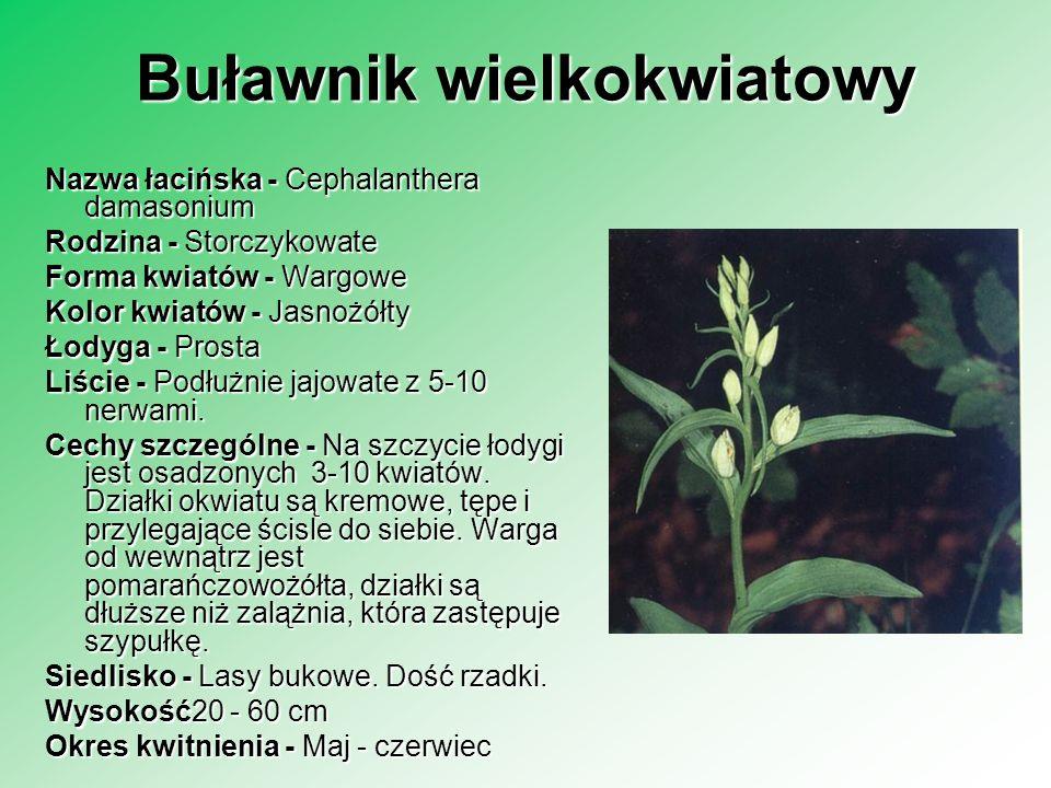 Buławnik wielkokwiatowy Nazwa łacińska - Cephalanthera damasonium Rodzina - Storczykowate Forma kwiatów - Wargowe Kolor kwiatów - Jasnożółty Łodyga -