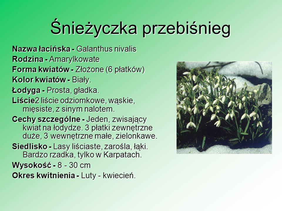 Śnieżyczka przebiśnieg Nazwa łacińska - Galanthus nivalis Rodzina - Amarylkowate Forma kwiatów - Złożone (6 płatków) Kolor kwiatów - Biały. Łodyga - P