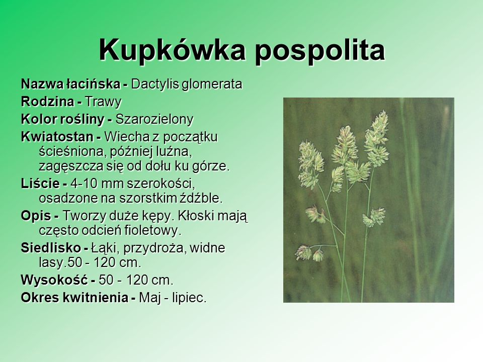 Narecznica samcza Nazwa łacińska - Dryopteris filix-mas Rodzina - Paprotniki Rodzina - Paprotniki Kolor rośliny - Zielony Kłącze - Spłaszczone Liście - Ciemnozielone, tworzące lejek, zwykle nie zimują.