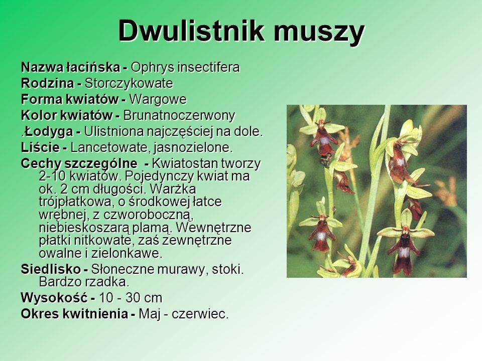 Dwulistnik muszy Nazwa łacińska - Ophrys insectifera Rodzina - Storczykowate Forma kwiatów - Wargowe Kolor kwiatów - Brunatnoczerwony.Łodyga - Ulistni